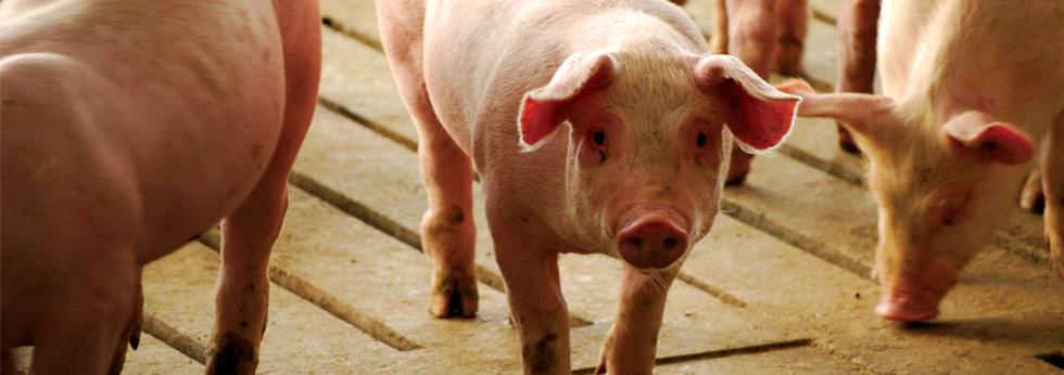 pigs on concrete slats